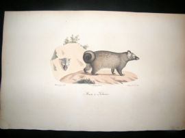 Saint Hilaire & Cuvier C1830 Folio Hand Colored Print. The Marten